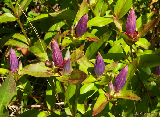 image of Gentiana clausa, Meadow Closed Gentian, Meadow Bottle Gentian