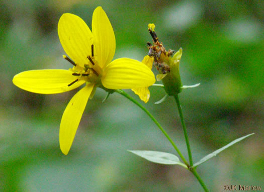 image of Coreopsis latifolia, Broadleaf Coreopsis, Broad-leaved Tickseed