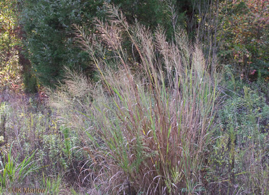 image of Panicum virgatum var. virgatum, Switchgrass , Prairie Switchgrass