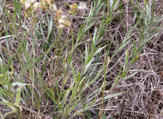 image of Pityopsis adenolepis, Grass-leaved Golden-aster, Grassleaf Aster