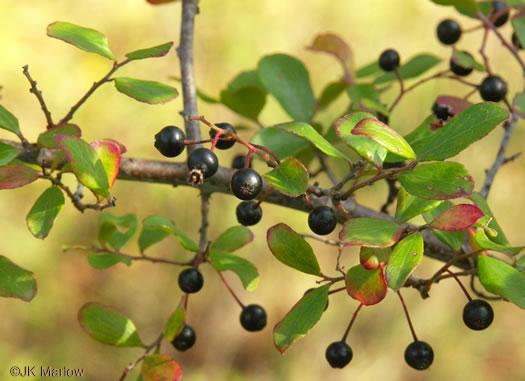 Namethatplant Berry Images