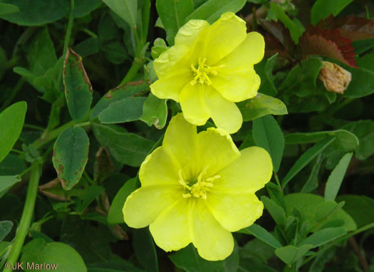 flower of Oenothera humifusa, Dunes Evening Primrose, Seabeach Evening Primrose, Spreading Evening Primrose
