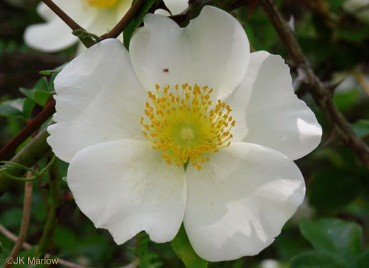 flower of Rosa laevigata, Cherokee Rose