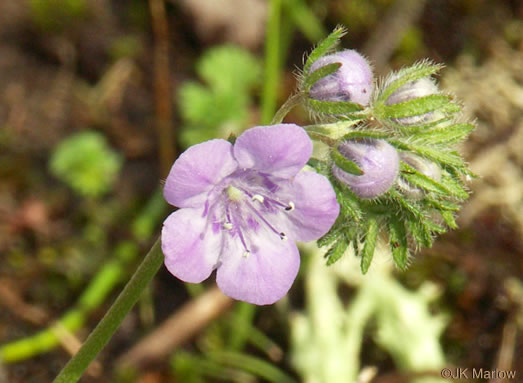 picture of Phacelia maculata, image of Phacelia maculata
