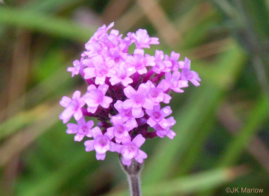flower of Verbena incompta, Purpletop Vervain, Tall Vervain