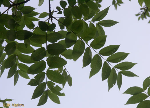 pinnately compound leaves of trees: Juglans nigra, Juglans nigra, Juglans nigra