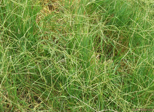 image of Cynodon dactylon, Bermuda Grass, Scotch Grass