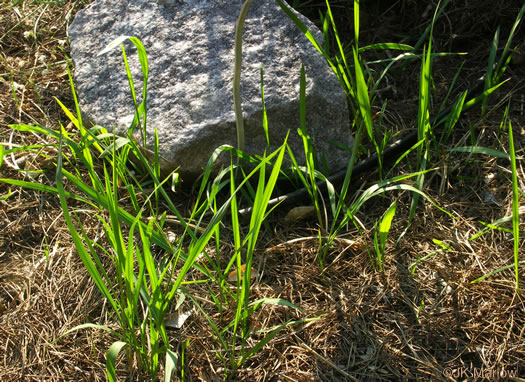 rhizome: Imperata cylindrica, Cogongrass, Bloodroot Grass, Brazilian Satintail