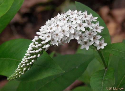 flower of Lysimachia clethroides, Gooseneck Loosestrife