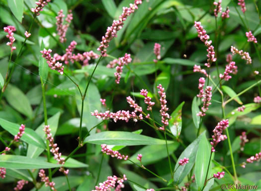 flower of Persicaria longiseta, Longbristle Smartweed, Bristly Lady's-thumb, Tufted Knotweed
