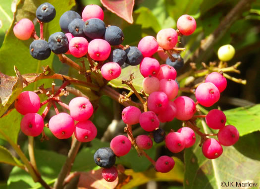 glaucous: Viburnum cassinoides, Northern Wild Raisin, Withe-rod, Shonny Haw, Shawnee Haw