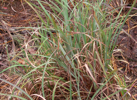 image of Andropogon capillipes, Dryland White Bluestem, Chalky Bluestem