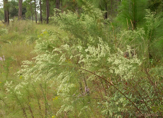 image of Eupatorium compositifolium, Coastal Dog-fennel, Yankeeweed