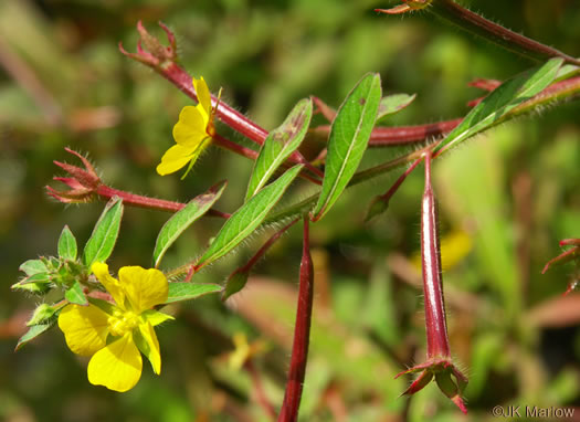 flower of Ludwigia leptocarpa, Water-willow, Primrose Willow, Anglestem Primrose-willow