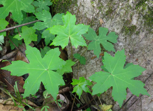 image of Hydrophyllum canadense, Mapleleaf Waterleaf, Broad-leaved Waterleaf, Canada Waterleaf