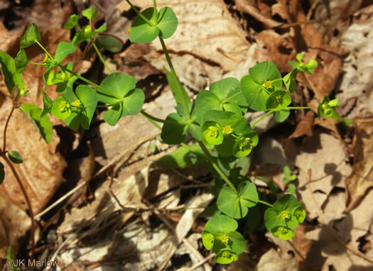 image of Euphorbia commutata, Woodland Spurge, Tinted Spurge, Wood Spurge