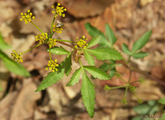 image of Zizia trifoliata, Mountain Golden-Alexanders