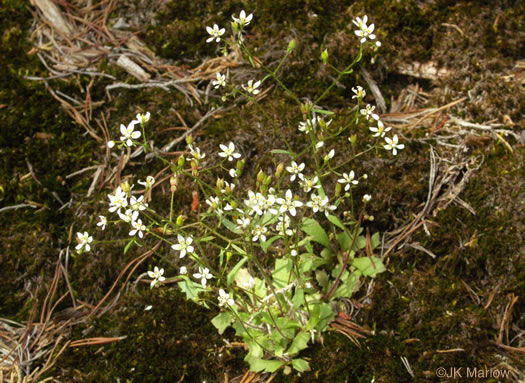 image of Micranthes species 1, Escarpment Saxifrage