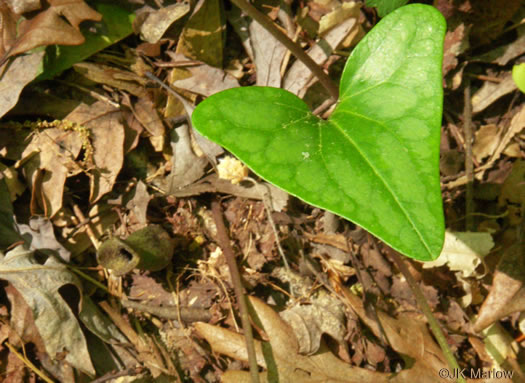 image of Hexastylis arifolia var. arifolia, Little Brown Jug, Arrowhead Heartleaf, Arrowleaf Heartleaf
