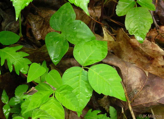 image of Toxicodendron radicans var. radicans, Eastern Poison Ivy