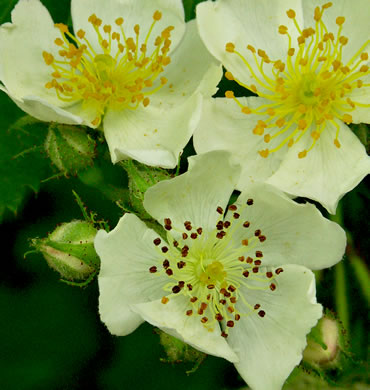 image of Rosa multiflora, Multiflora Rose