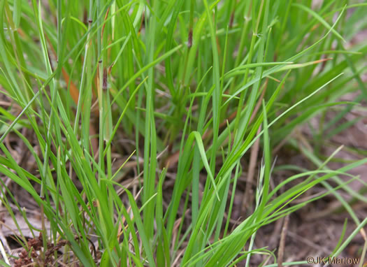 glabrous: Danthonia spicata, Poverty Oatgrass, Moonshine Grass