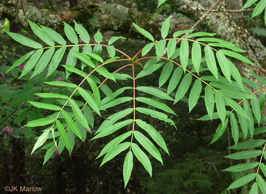 pinnately compound leaves of trees: Sorbus americana, Sorbus americana, Sorbus americana