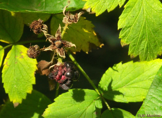 pedicel: Rubus occidentalis, Rubus occidentalis, Rubus occidentalis