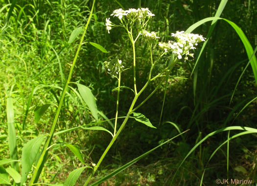 image of Verbesina virginica var. virginica, White Crownbeard, Common Frostweed, White Wingstem, Virginia Wingstem