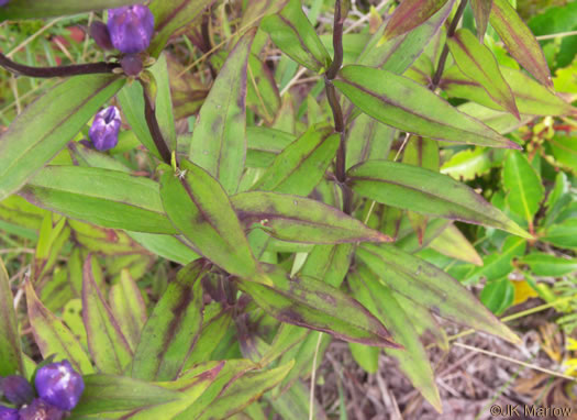 image of Gentiana latidens, Balsam Mountain Gentian