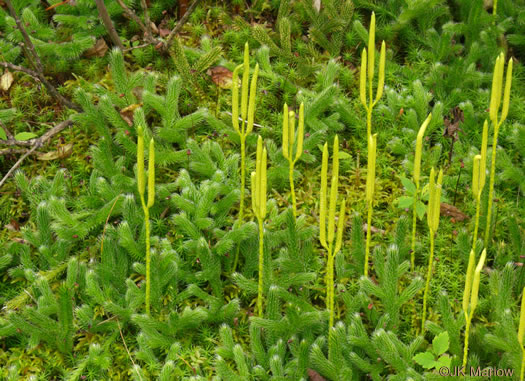 image of Lycopodium clavatum, Staghorn Clubmoss, Running Clubmoss, Ground-pine