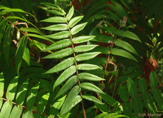 pinnately compound leaves of shrubs: Rhus typhina, Rhus typhina, Rhus typhina