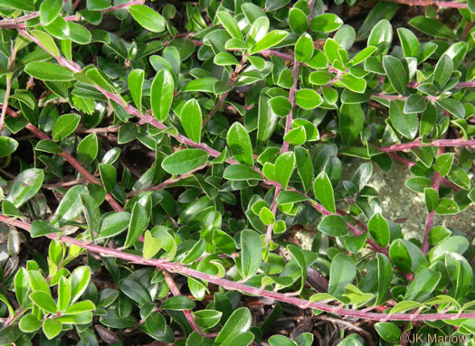 picture of -, image of Arctostaphylos uva-ursi