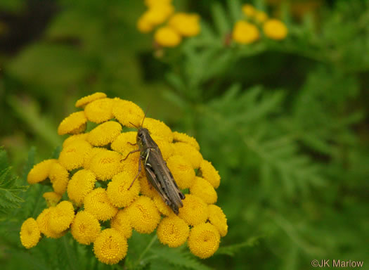 image of Tanacetum vulgare, Common Tansy, Golden-buttons