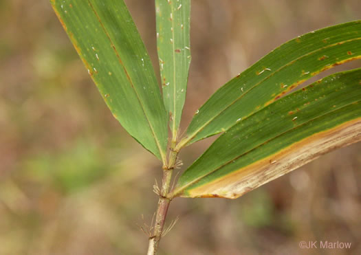 image of Arundinaria tecta, Switch Cane, Small Cane