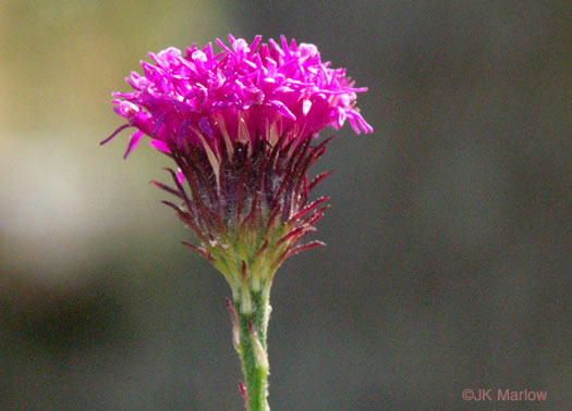 image of Vernonia acaulis, Stemless Ironweed, Carolina Ironweed