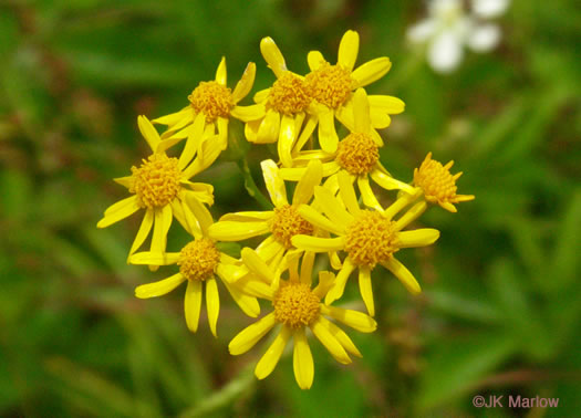 flower of Packera schweinitziana, Robbins' Ragwort, New England Ragwort, New England Groundsel