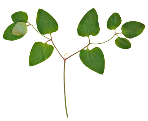 pinnately compound leaves of vines: Clematis terniflora, Clematis terniflora, Clematis dioscoreifolia