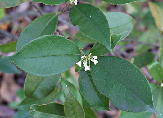 dentate: Osmanthus fragrans, Fragrant Tea Olive