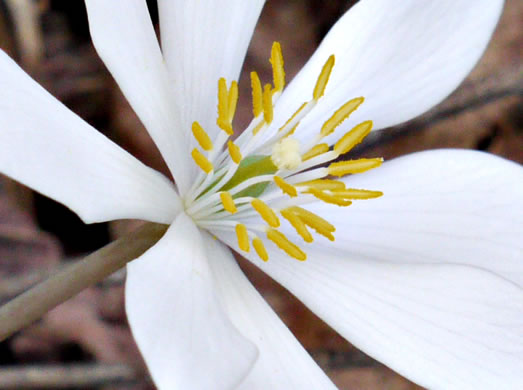 superior ovary: Sanguinaria canadensis, Bloodroot, Red Puccoon