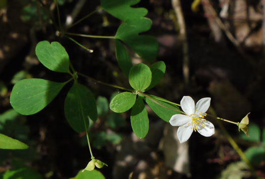 False Rue Anemone (Enemion biternatum)