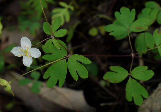 leaf or frond of Enemion biternatum, False Rue-anemone, Isopyrum