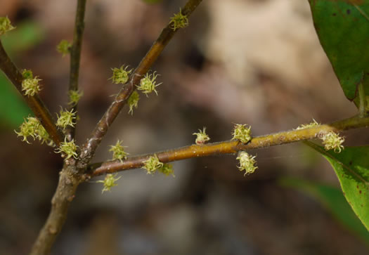 catkin: Morella caroliniensis, Pocossin Bayberry, Evergreen Bayberry, Swamp Candleberry, Southern Bayberry