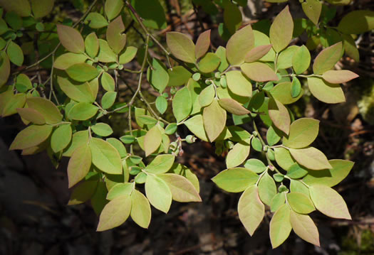 elliptical: Vaccinium pallidum, Dryland Blueberry, Lowbush Blueberry, Upland Low Blueberry, Hillside Blueberry