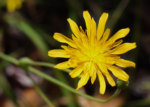 image of Krigia biflora var. biflora, Orange Dwarf-dandelion, Two-flower Dwarf-dandelion, Two-flower Cynthia