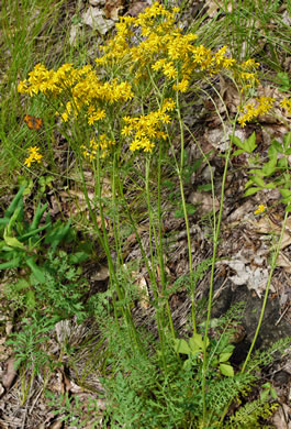 image of Packera millefolium, Blue Ridge Ragwort, Yarrowleaf Ragwort, Divided-leaf Ragwort
