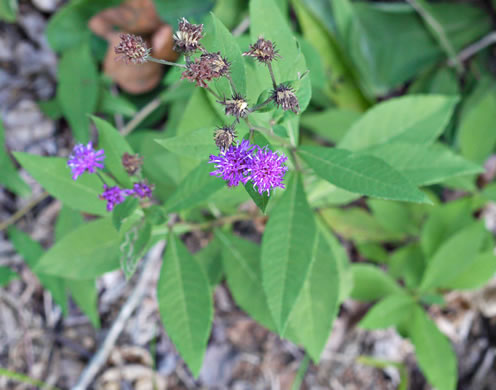 glaucous: Vernonia glauca, Broadleaf Ironweed, Appalachian Ironweed, Tawny Ironweed