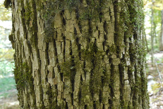 image of Fraxinus americana, White Ash, American Ash