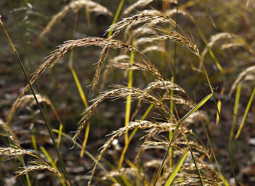 filiform: Sorghastrum elliottii, Elliot's Indiangrass, Slender Indiangrass, Nodding Indiangrass