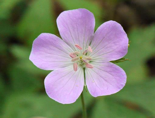 Namethatplant stamen images stamen geranium maculatum geranium maculatum geranium maculatum mightylinksfo